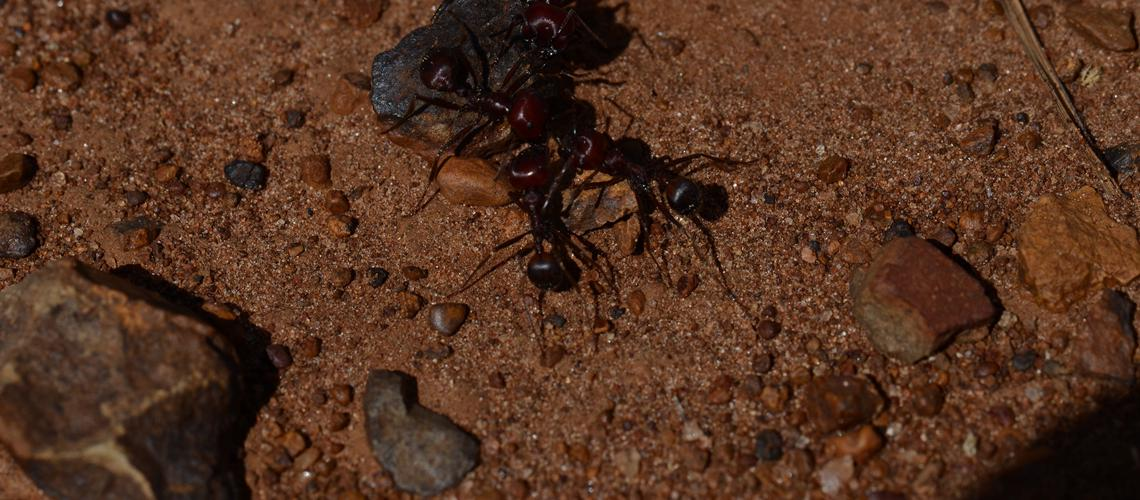 Context-dependent navigation in a collectively foraging species of ant, Messor cephalotes